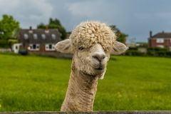 A sheared apricot Alpaca in Charnwood Forest royalty free stock image
