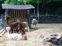 Sheared Farm Animals in Outdoor Pen Royalty Free Stock Image
