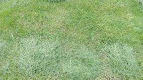 Grass after mowing the lawn. Sheared grass on the lawn after passing the tractor for mowing the lawn stock footage