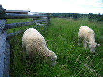 Sheared and not sheared. Lambs grazing at the farm, one recently sheared Stock Photography
