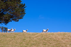 Sheared sheep Stock Images