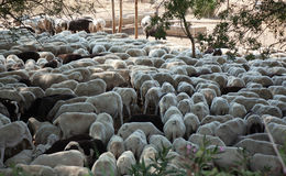 Sheared sheep Royalty Free Stock Photos