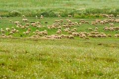 Sheared Sheep Stock Photo