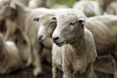 Sheared sheep. With blurred background Stock Photos