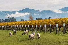 Sheared sheep grazing in autumn vineyard Stock Images