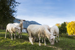 Sheared sheep grazing on hill Royalty Free Stock Photo