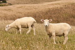 Sheared sheep grazing Royalty Free Stock Images