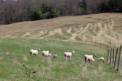 Sheared Sheep Royalty Free Stock Images
