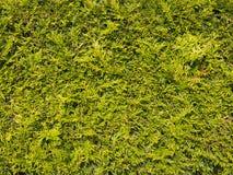 Sheared texture green bush arborvitae Royalty Free Stock Photo