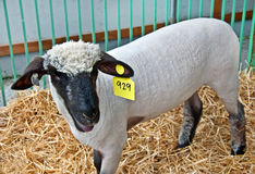 Sheared White Sheep in Pen Royalty Free Stock Photos