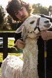 Shearer and white Huacaya alpaca. Shearer gives a final touch in shearing of an alpaca Royalty Free Stock Image