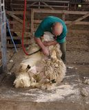 Shearing. Sheep royalty free stock images