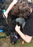 Shearing black alpaca Royalty Free Stock Images