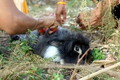 Shearing a furry rabbit Royalty Free Stock Photos