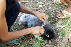 Shearing a furry rabbit Royalty Free Stock Photo
