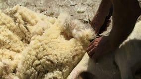 New Zealand sheep being sheared. Shearing New Zealand sheep close up stock video footage