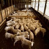 Shearing Shed. View of herd of sheep that have been freshly shorn inside shearing shed Royalty Free Stock Photography