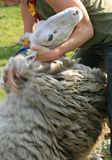Shearing a sheep. In spring sheep have been sheared; they are losing their warm coat Royalty Free Stock Image