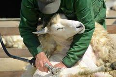 Free Shearing Sheep Royalty Free Stock Image - 86036116