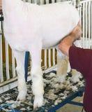 Shearing a sheep at the county fair. Man shearing a sheep at the Walworth County Fair in Elkhorn, WI Stock Images