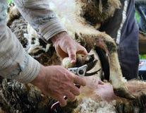 Shearing sheep hoof. Royalty Free Stock Photos