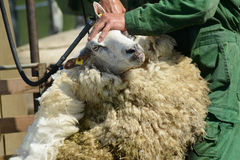 Shearing Sheep. Photo with Sheep Shearing in the corral Stock Images