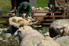 Shearing Sheep. Photo with Sheep Shearing in the corral Stock Photography