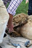 Shearing a sheep Stock Photo