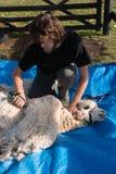 Shearing white alpaca Stock Photography