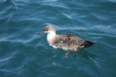 shearwater obrazy royalty free