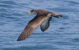 Shearwater Royalty Free Stock Image