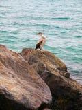 Shearwater de Cory em rochas Imagens de Stock Royalty Free