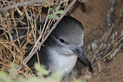 Shearwater Royalty Free Stock Photos