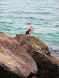 Shearwater van Cory op rotsen Royalty-vrije Stock Afbeeldingen