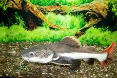 Sheat-fish. This is a sheat-fish (Phractocephalus hemioliopterus), photographed in an aquarium Stock Photos