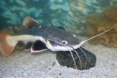 Sheatfish stock photo