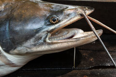 Sheatfish Стоковые Фото