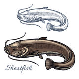 Sheatfish or catfish sketch for food design. Sheatfish isolated sketch. Gray catfish, freshwater predatory fish with barbels and curved tail. Fishing sport, fish Stock Photos