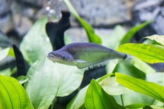 Sheatfish Phalacronotus apogon με τη χλόη στο ενυδρείο Στοκ Φωτογραφίες