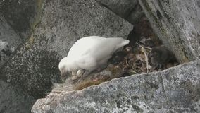 Sheathbill nevado do pintainho fêmea e fofo que senta-se em uma prateleira da rocha onde haja um soquete video estoque