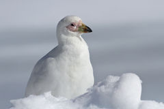 Sheathbill nevado que se senta no inverno do Antarctic da neve Foto de Stock