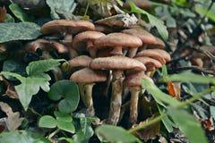 Sheathed woodtuft, Kuehneromyces mutabilis. Kuehneromyces mutabilis synonym: Pholiota mutabilis, commonly known as the sheathed woodtuft Royalty Free Stock Photography