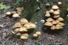 Sheathed woodtuft Stock Photo