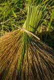 Sheaves ρυζιού μετά από τη συγκομιδή Στοκ Εικόνες