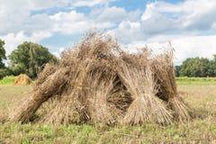 Sheaves του καλαμποκιού που στέκονται κατακόρυφα ως ομάδα στοκ εικόνες
