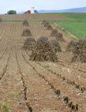 Sheaves of corn stalks Royalty Free Stock Photos