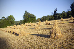 Sheaves of oats on the field Royalty Free Stock Photography