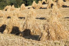 Sheaves of oats on the field Stock Images