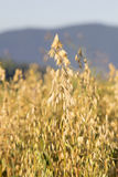Sheaves of oats on the field Royalty Free Stock Images