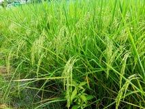Sheaves of rice. Stock Photo